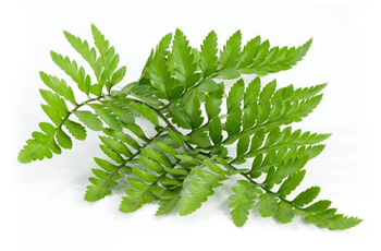 polypodium-leucotomos-extract